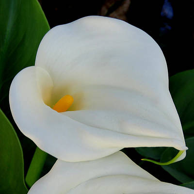 Photograph - White Cala Lily by Pat Exum
