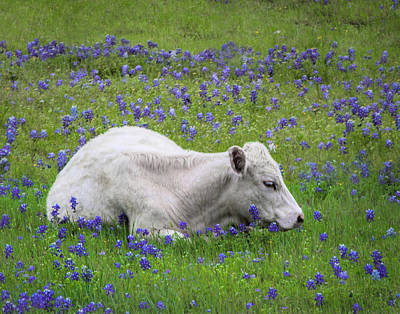 Photograph - White Calf And Bluebonnets by David and Carol Kelly
