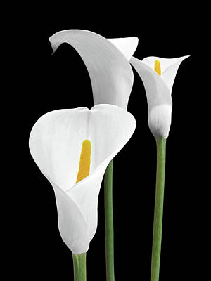 Photograph - White Calla Lilies by Gill Billington