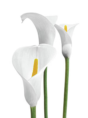 Photograph - White Calla Lilies On White by Gill Billington