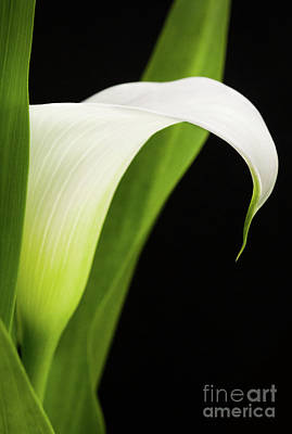 Photograph - White Calla Lily  -90759 by John Bald