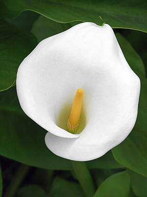 Autumn Leaves Rights Managed Images - White Calla Lily Royalty-Free Image by Christine Till
