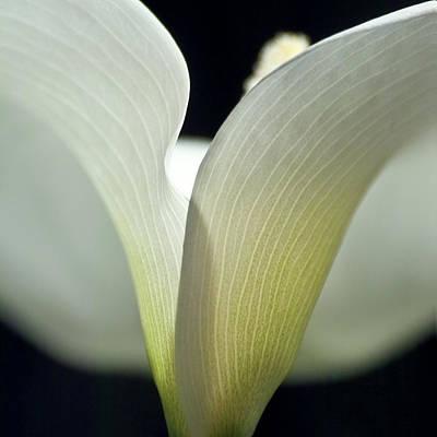 White Calla Lily Art Print by Heiko Koehrer-Wagner
