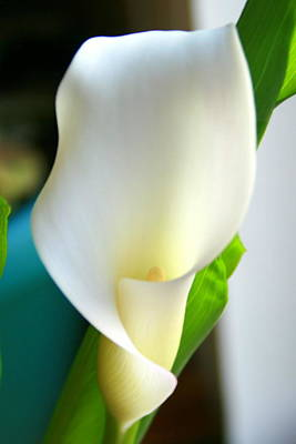 Photograph - White Calla Lily by Kay Novy