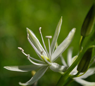Photograph - White Camas by Adria Trail