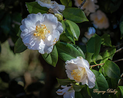 Photograph - White Camelia 02 by Gregory Daley  PPSA