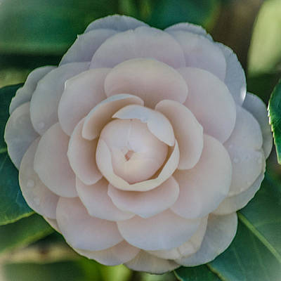 Floral Photograph - White Camellia by Renee Barnes