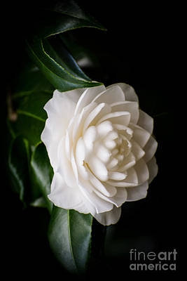 Theaceae Photograph - White Camellia by Zina Stromberg