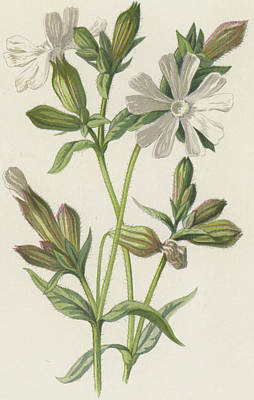 Wildflowers Drawing - White Campion by Frederick Edward Hulme