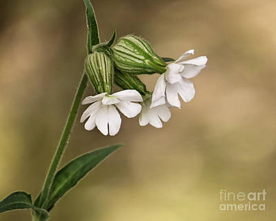 Photograph - White Campion by Janice Drew