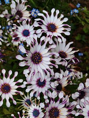 Photograph - White Cape Daisy Cascade by Richard Brookes