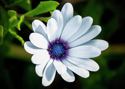 Photograph - White Cape Daisy by Jean Haynes