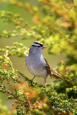 Kids Alphabet - White Crowned Sparrow by Todd Bielby