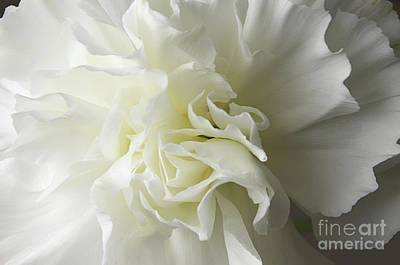 Photograph - White Carnation by Liz Masoner