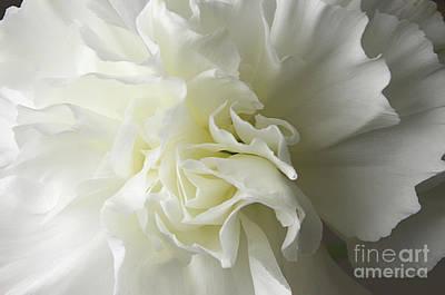 Photograph - White Carnation by Liz Masoner