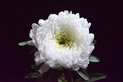 Photograph - White Carnation On Black by Lynda Anne Williams