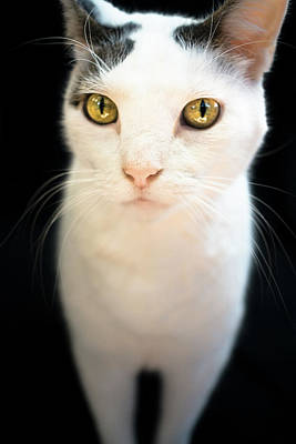 Photograph - White Cat With Gold Eyes by Jeanette Fellows