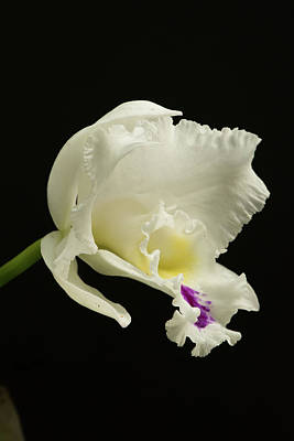 Photograph - White Cattleya Orchid  by Phyllis Peterson