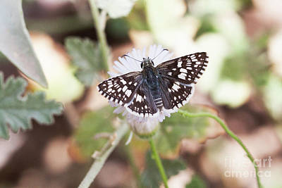 Photograph - White Checkered Skipper by Ruth Jolly