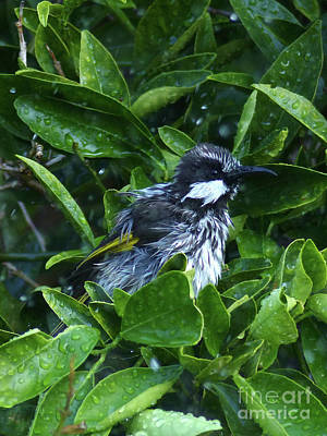 Photograph - White Cheeked Honeyeater Taking A Shower by Phil Banks