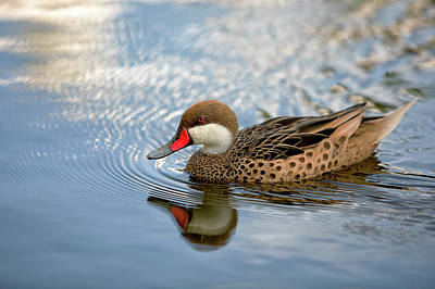 White-cheeked Pintail Art Print by Eunice Gibb