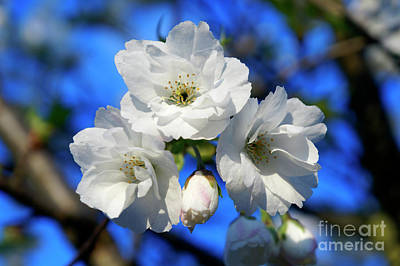 Photograph - White Cheery Blossoms by John  Mitchell