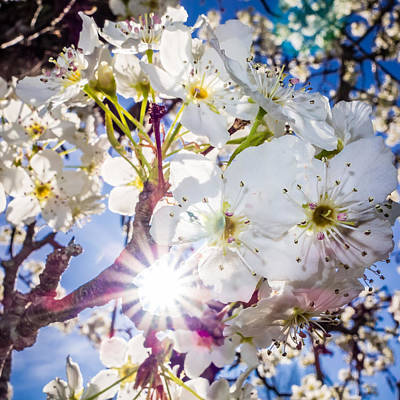 Photograph - White Cherry Blossoms Blooming In Spring by Alex Grichenko