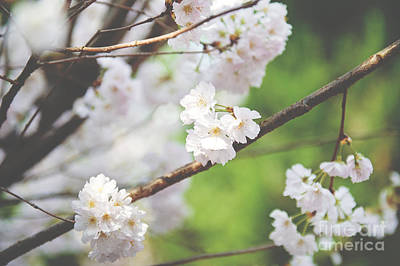 Photograph - White Cherry Blossoms  by Ivy Ho