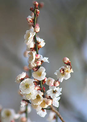 Photograph - White Cherry Blossoms by Living Color Photography Lorraine Lynch