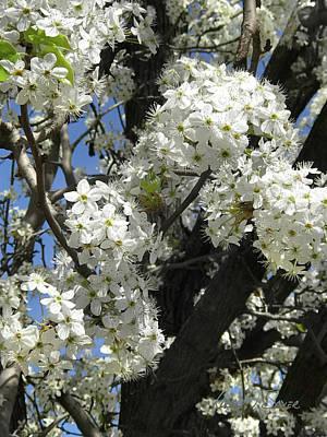 Photograph - White Cherry Blossoms by Robert J Sadler