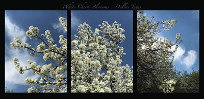 Photograph - White Cherry Blossoms Tryptic by Robert J Sadler