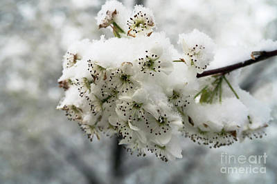 Photograph - White Cherry Blossoms Under Snow by Ausra Huntington nee Paulauskaite
