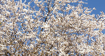 Photograph - White Cherry In Blossom by Irina Afonskaya