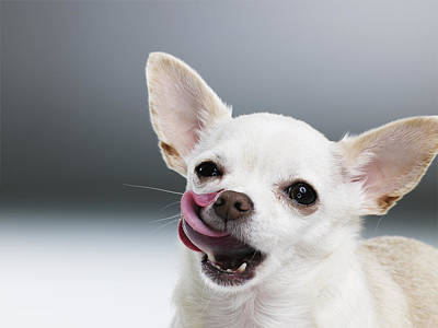 White Chihuahua Licking Lips, Close-up, Portrait Art Print by Thomas Barwick