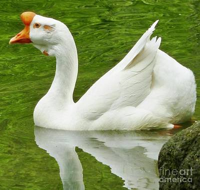 Photograph - White Chinese Goose by Susan Garren