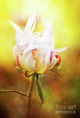 Photograph - White Chinese Peony Laden With Raindrops by Anita Pollak