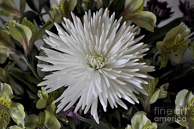 Photograph - White Chrysanthemum by Bridgette Gomes