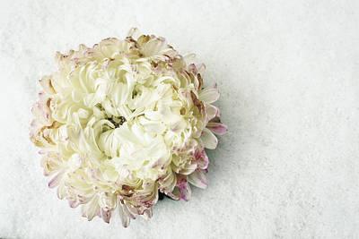 Photograph - White Chrysanthemum Flower On Snow by John Williams