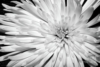 Photograph - White Chrysanthemum by Julia Hiebaum