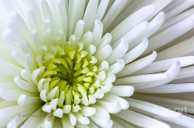 Photograph - White Chrysanthemum by Richard J Thompson