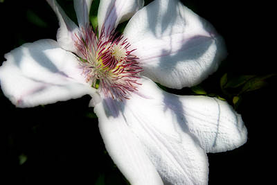 Photograph - White Clematis - 2 by Barry Jones