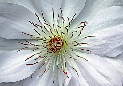 Photograph - White Clematis by Debbie Oppermann