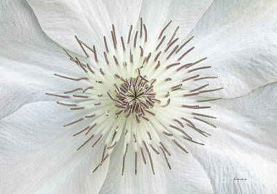 Photograph - White Clematis Flower Garden 50121b by Ricardos Creations