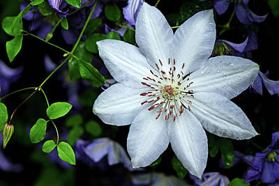 Photograph - White Clematis Surrounded By Purple Clematis  by Debbie Oppermann