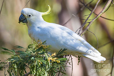 Cockatoo Photograph - White Cockatoo by B.G. Thomson