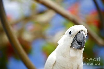 White Cockatoo Bird Art Print