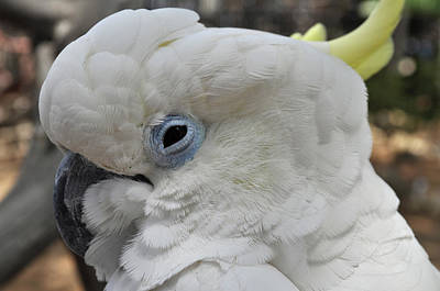 Photograph - White Cockatoo Bird by Kyle Hanson