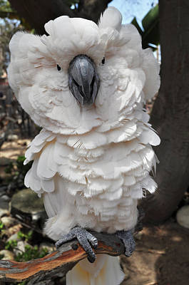 Photograph - White Cockatoo by Kyle Hanson