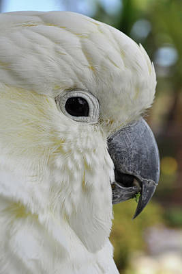 Photograph - White Cockatoo Portrait by Kyle Hanson