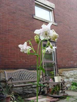 Mixed Media - White Columbine by Anthony Seeker